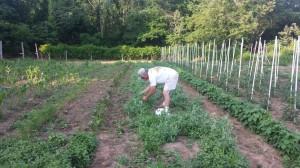 Mr. Galli picking a peck of pretty peas.